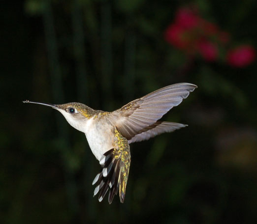 hummingbird1b.jpg