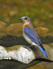 bluebird42407c.jpg