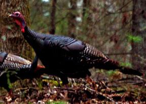 wild_turkeys2b.jpg