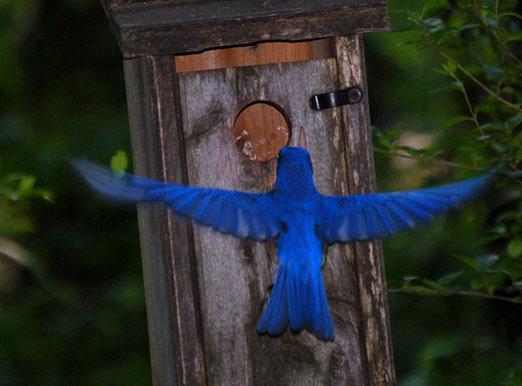 bluebirdfly091b.jpg