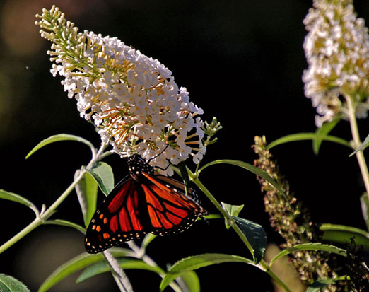 monarch butterfly essay The monarch butterfly essay 1010 words mar 8th, 2005 5 pages the monarch butterfly, as known as danaus plexippus, is often called the milkweed butterfly because its larvae eat the milkweed plant.