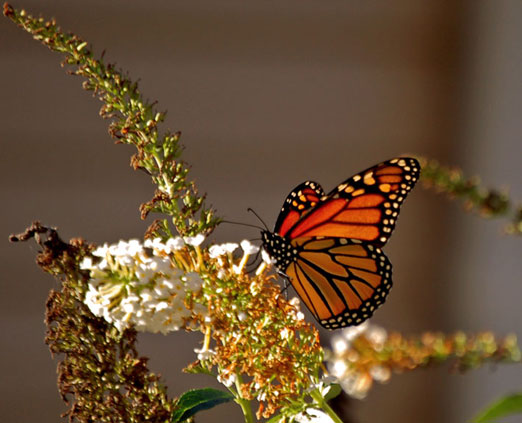 monarch butterfly essay The life cycle of monarch butterflies and the annual migration an amazing life cycle of monarch butterflies shows the monarch butterfly essay.
