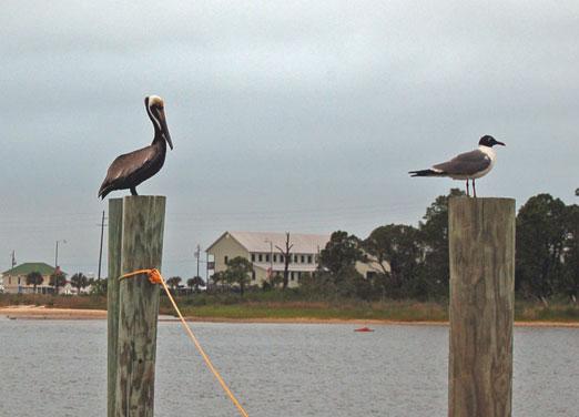 pelican_seagull1b.jpg