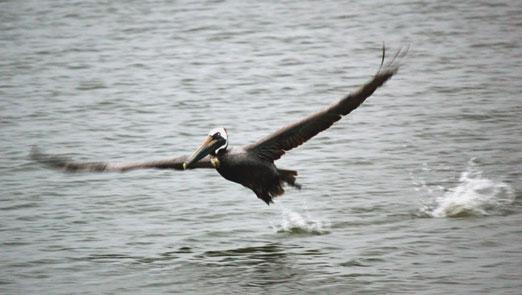 pelican_pub1b.jpg