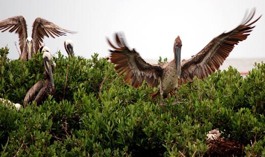 pelicans6-22cb
