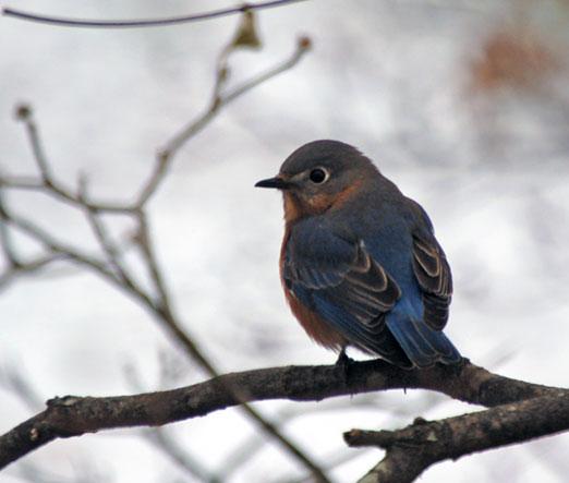 blue_bird122610ab.jpg