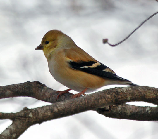 goldfinch122610ab.jpg