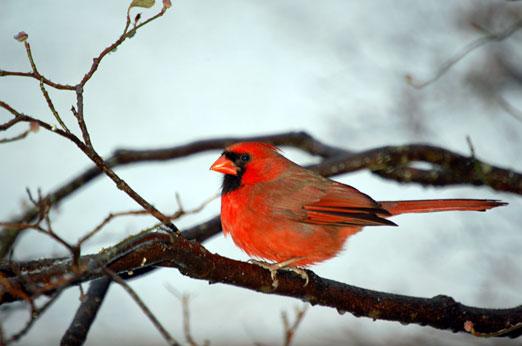 snowy_cardinal122510ab.jpg