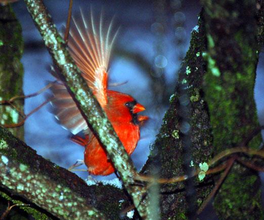 snowy_cardinal122510bb.jpg