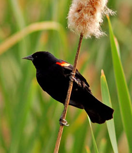 red-winged_blackbird1b.jpg
