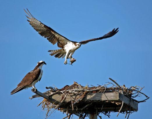 nesting_ospreys1ab.jpg