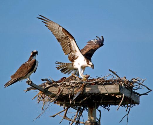 nesting_ospreys2b.jpg