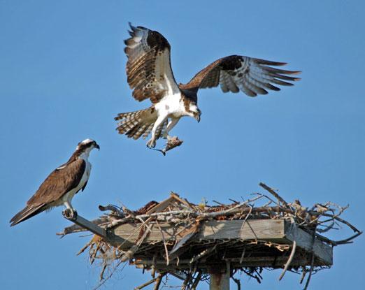 nesting_ospreys3b.jpg