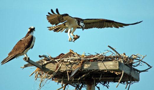 nesting_ospreys4b.jpg