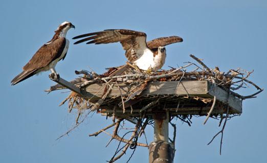 nesting_ospreys5b.jpg
