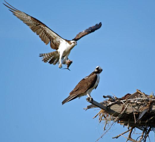 nesting_ospreys6b.jpg