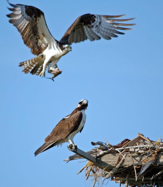nesting_ospreys7b.jpg