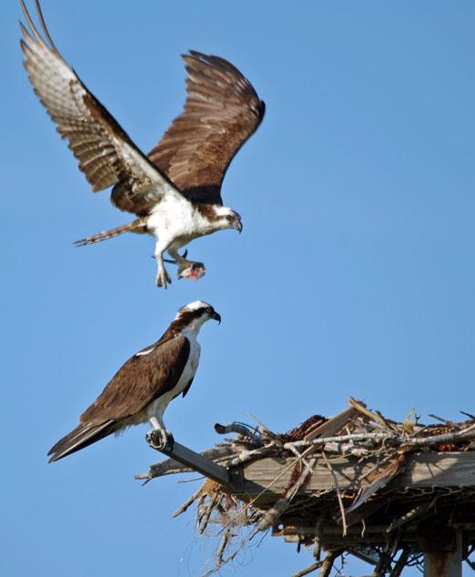 nesting_ospreys8b.jpg