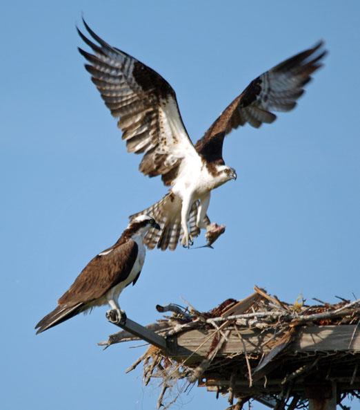nesting_ospreys9b.jpg