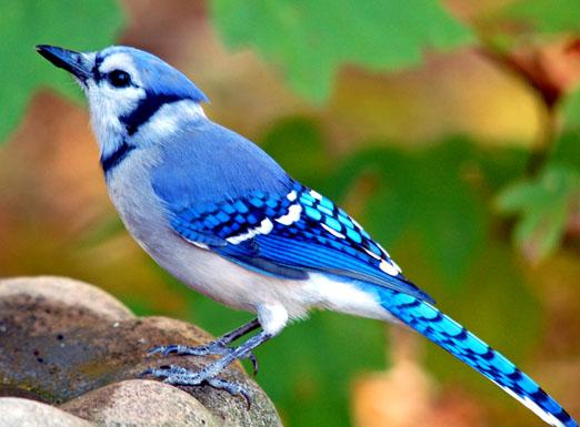 blue_jay10411ab.jpg