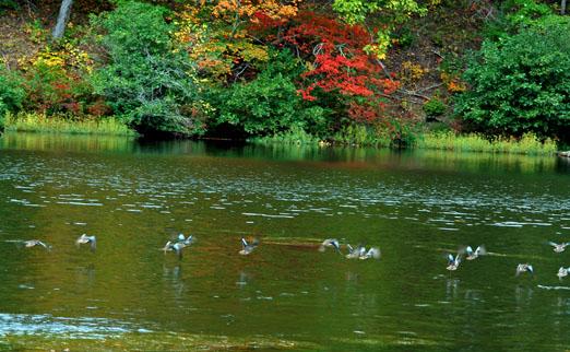 ducks101011ab.jpg