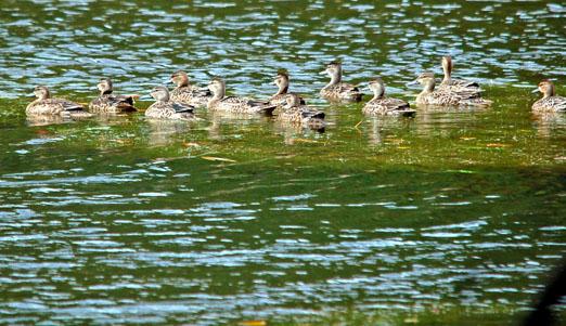 ducks1b.jpg