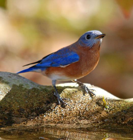 bluebird111bb.jpg