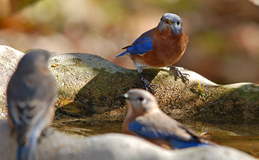 bluebirds111cb.jpg