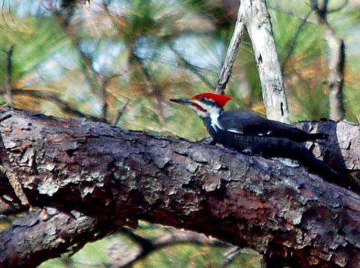 pileated_woodpecker111111ab.jpg