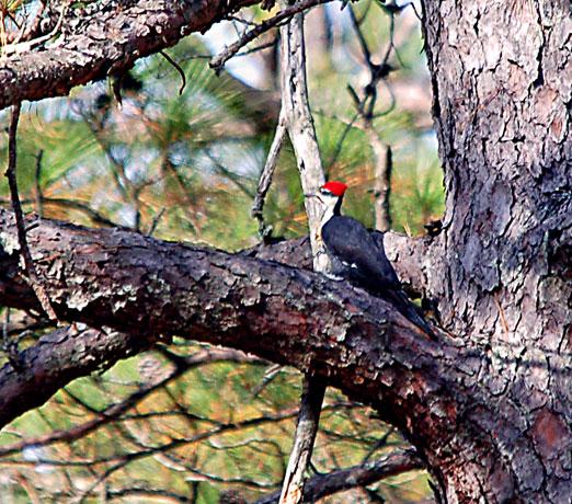 pileated_woodpecker111111bb.jpg
