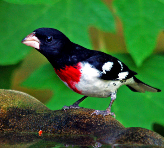 male_grosbeak42512cb.jpg