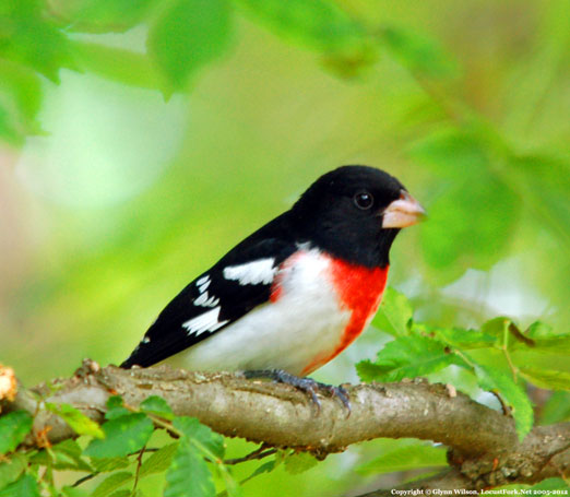 male_grosbeak42512eb.jpg