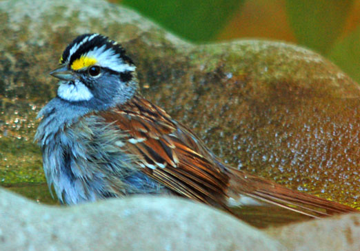 white-throat_sparrow41412cb.jpg