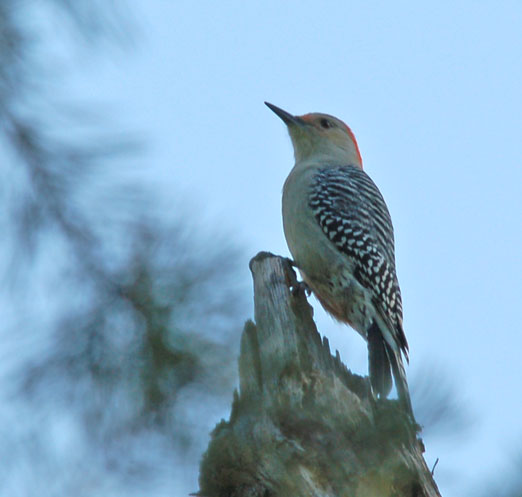 A Red-Bellied Woodpecker: Wildlife could be diminished in the forest if fracking is allowed.