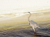 Great Blue Heron in Oily Water