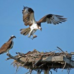 Easter Sunday Feature Photo: Ospreys Nesting in Gulf State Park
