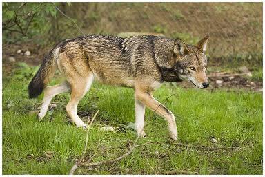 red-wolf1212a.jpg