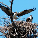 Ospreys Mating in Broad Daylight