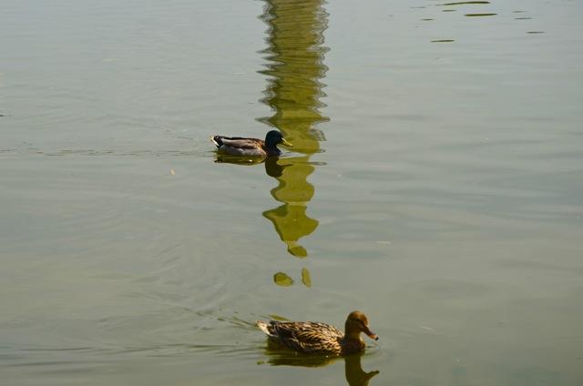 Ducks on the Mall