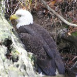 Reward of $5,000 Offered in Bald Eagle Shooting Death