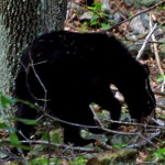 Reward of $2,500 Offered for Information on the Death of Two Black Bears