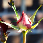 December Rosebud: Another Sign of Global Warming?
