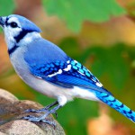 A Blue Jay Visits the Backyard Bird Bath