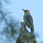 Secret Vistas: A Red-Bellied Woodpecker in Cheaha State Park