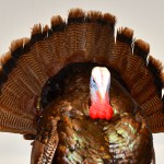 Thanksgiving 2012: A Cheaha Mountain Wild Turkey