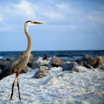 A Great Blue Heron Walks the Beach in Gulf Shores