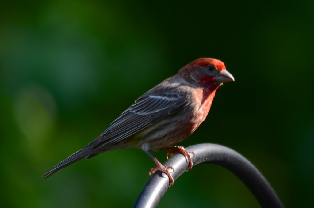 house_finch5-4-13a