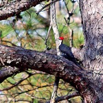 A Pair of Pileated Woodpeckers Live Near Lake Chinnabee