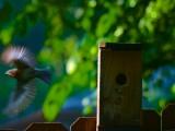 female_bluebird6-7-13b