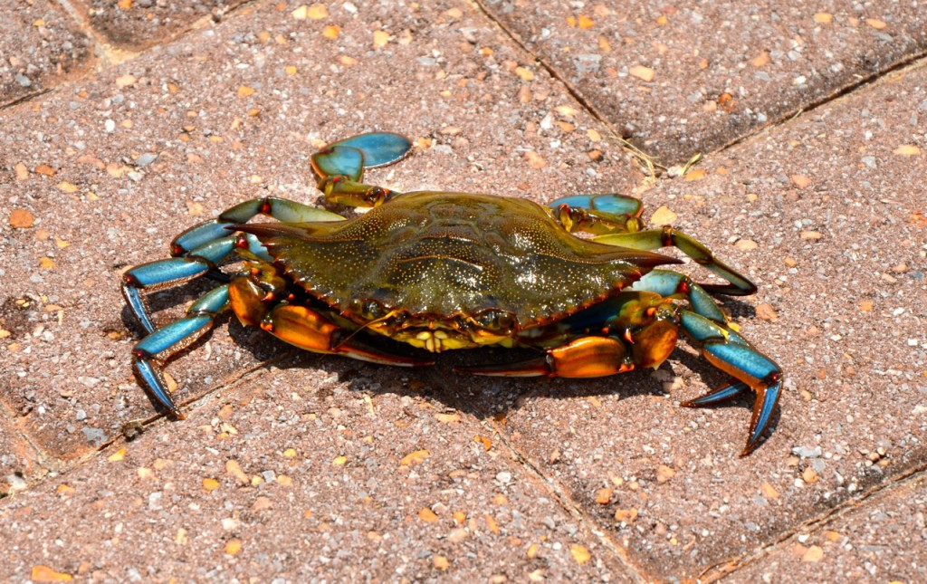 downtown_crab1